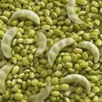 Surti Beans(PAPADI)